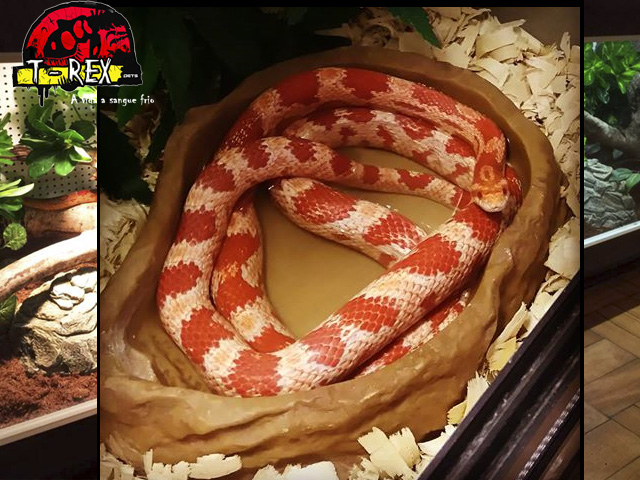 Corn Snake Adulta Water dish