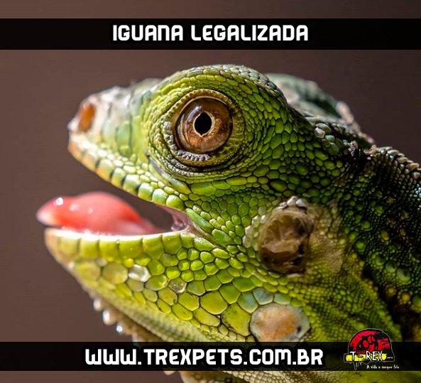 Iguana Legalizada Criadouro Iguanas